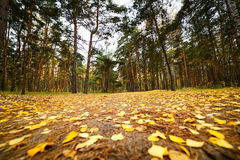 Autumn forest, yellow carpet of fallen leaves. Royalty Free Stock Photography
