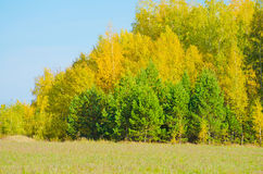 Autumn forest yellow flowers field grass forest trees.  Stock Images
