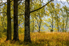Autumn forest in yellow foliage. Trees with yellow foliage. lovely autumn forest backgroud Royalty Free Stock Photo