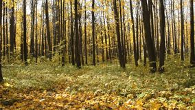 In the autumn forest yellow golden leaves fall to the ground. Yellow leaves on the trees. The earth is covered with yellow leaves. In the autumn forest yellow stock footage
