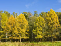 Autumn forest with yellow larches Stock Photo