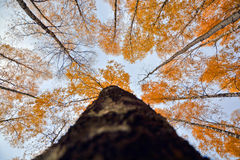 Autumn forest. Yellow leaves of birch forest autumn forest against beautiful blue sky dark trunk Stock Images
