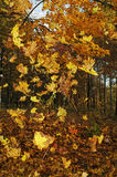 Autumn forest. Stock Photography