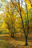 Autumn forest and yellow leaves. Autumn forest and fallen yellow leaves Stock Photography