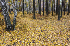 Autumn forest. Yellow leaves Stock Photo
