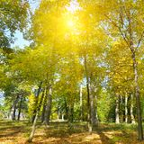 Autumn forest, yellow leaves and the sunset. Stock Photo