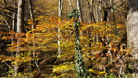 Autumn forest, yellow leaves on the trees. Beautiful autumn forest, yellow leaves on the trees, the nature of Russia, Caucasus Royalty Free Stock Photography