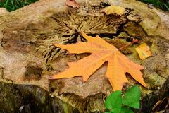 Autumn in forest, yellow maple leaf Royalty Free Stock Photo