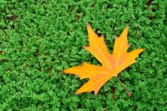 Autumn in forest, yellow maple leaf on grass Stock Photos