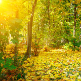 Autumn forest, yellow maple leaves and sunrise. Autumn forest, yellow maple leaves and sun rise royalty free stock photos