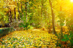Autumn forest, yellow maple leaves and sunrise. Autumn forest, yellow maple leaves and sun rise stock photo