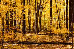 Autumn forest with yellow maple trees. Bright yellow leaves on maple trees and forest floor on a sunny fall day Royalty Free Stock Image