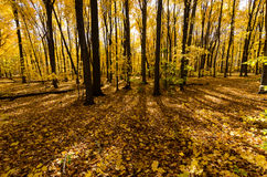 Autumn forest with yellow maple trees. Bright yellow leaves on maple trees and forest floor on a sunny fall day Stock Images