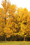 Autumn forest, yellow trees Royalty Free Stock Photos