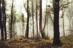 Autumn forest with yellow vegetation and fog Royalty Free Stock Images
