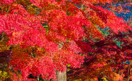 Autumn Forest in Yoshino, Nara, Japan Stockbild