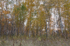 A autumn forest of young birch trees Royalty Free Stock Image