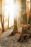 Autumn in a Forrest Royalty Free Stock Image