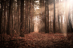 Autumn Forrest. With rays of the sun stock photo