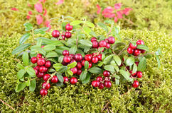Autumn foxberry Royalty Free Stock Image