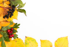 Autumn frame. Build with birch leaves and black and red berries Stock Images