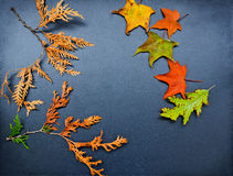 Autumn frame, cedar, maple, oak Stock Photo