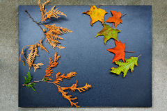 Autumn frame, cedar, maple, oak Stock Image