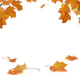 Autumn Frame. Autumn colored maple leaves on white background with empty space in the middle for copy Royalty Free Stock Image
