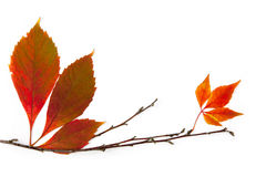 Autumn frame element  / beautiful real leaves Royalty Free Stock Image