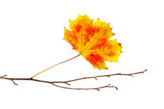 Autumn frame element  / beautiful real leaves Royalty Free Stock Photo