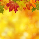 Autumn Frame. Maple leaves on a blur golden background Stock Photos