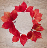Autumn frame of red leaves parthenocissus Stock Photo