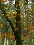Autumn in the froest, brown leaves on a tree before green conifers. In october Royalty Free Stock Photo