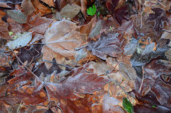Autumn Frost. A carpet of frosted autumn leaves on the forest floor Royalty Free Stock Photos