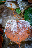 Autumn frosted leaf Royalty Free Stock Photo
