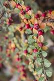 Autumn fruit Royalty Free Stock Photo