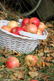 Autumn fruit in the garden Royalty Free Stock Images