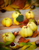 Autumn fruit - quinces Stock Photography