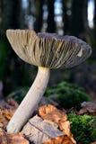 Autumn Fruiting Fungi Imagen de archivo libre de regalías