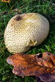 Autumn Fruiting Fungi photographie stock libre de droits