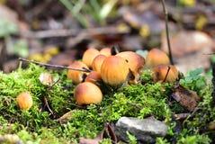 Autumn Fruiting Fungi Foto de archivo libre de regalías