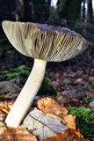 Autumn Fruiting Fungi Fotografía de archivo libre de regalías