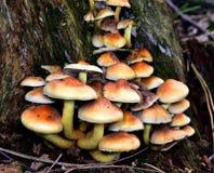 Autumn Fruiting Fungi photo stock