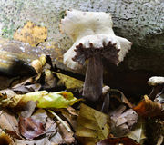 Autumn Fruiting Fungi Royalty Free Stock Photos