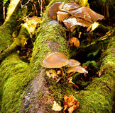 Autumn Fruiting Fungi Royalty Free Stock Image