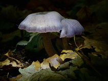 Autumn Fruiting Fungi Stock Photo