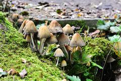 Autumn Fruiting Fungi. Sunlight on the Autumn Fruiting Fungi Royalty Free Stock Photography
