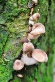 Autumn Fruiting Fungi Royalty Free Stock Image