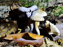 Autumn Fruiting Fungi. Sunlight on the Autumn Fruiting Fungi Royalty Free Stock Image