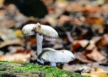 Autumn Fruiting Fungi. Sunlight on the Autumn Fruiting Fungi Royalty Free Stock Photo